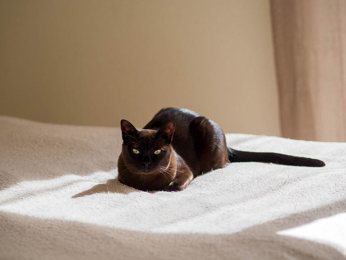 Calmness Sunny Animal Themes Bed Brown Cat  Burmese Cat Day Domestic Animals Domestic Cat Indoors  Looking At Camera Mammal No People One Animal Pets Relaxation Sunny Room Warm Light