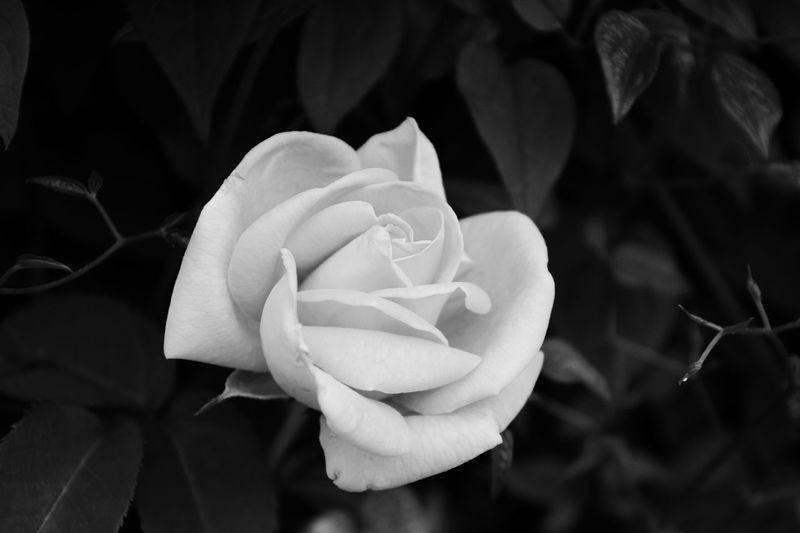 Beauty In Nature Flower Head White Flower 😚 Rosé Black Background