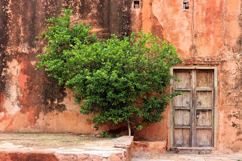 Pink of the pink city and the saturated green tree besides the old rusty door. Wall Tree Door Old Historical Building Heritage Architecture Magazine Pinkcity Jaipur Jaipur Architecture Photography Perspective Photography Old-fashioned Rusty EyeEm Best Shots EyeEmNewHere EyeEm Canon77d Canon