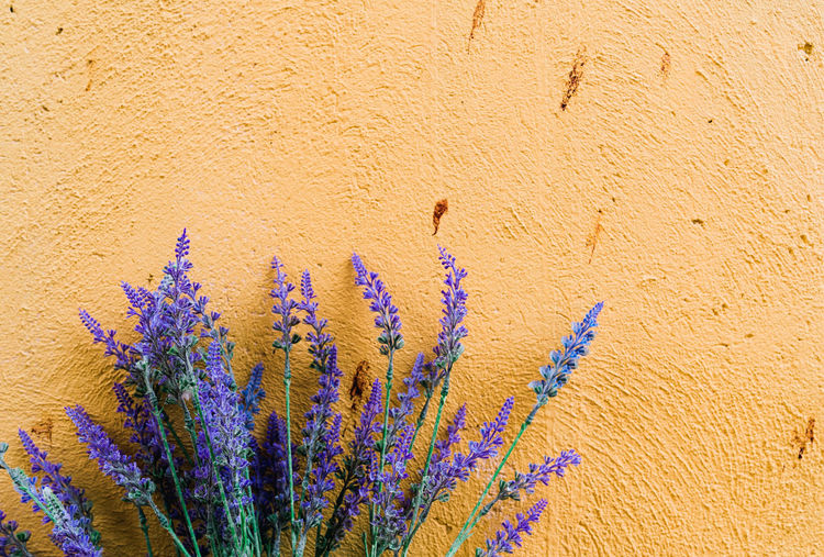 lavender with yellow wall background Flowering Plant Flower Plant Wall - Building Feature Growth Close-up Fragility Day Nature No People Vulnerability  Beauty In Nature Freshness Built Structure Botany Blue Outdoors Textured  Purple Architecture Flower Head