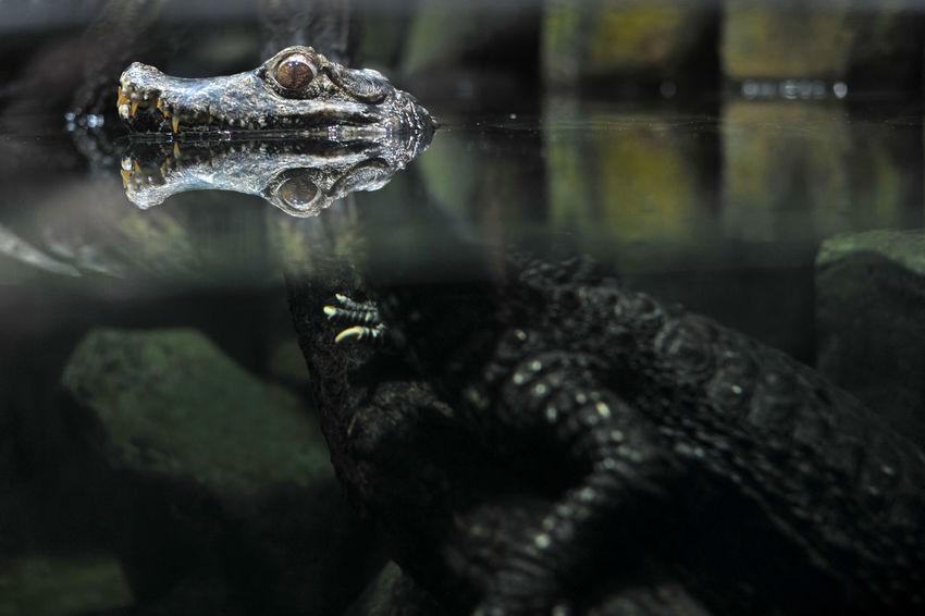 Alligator Animal Themes Animal Wildlife Aquarium Aquazoo Close-up Crocodile Kaiman Nature No People One Animal Reptile Water