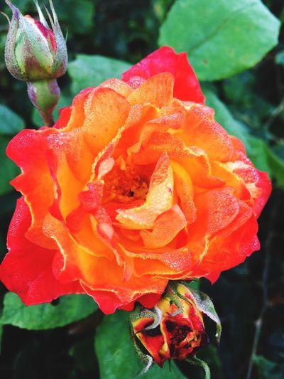 Rosé Rosa