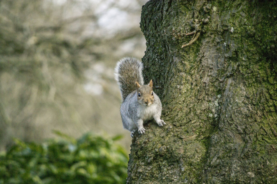 Animal Themes Animal Wildlife Animals In The Wild Barks Of A Tree Branches Close-up Concentration Day Focus On Foreground Forest Mammal Moment Moss Nature No People One Animal Outdoors Park Scared Squirrel Tree Tree Trunk Waiting Woodlands