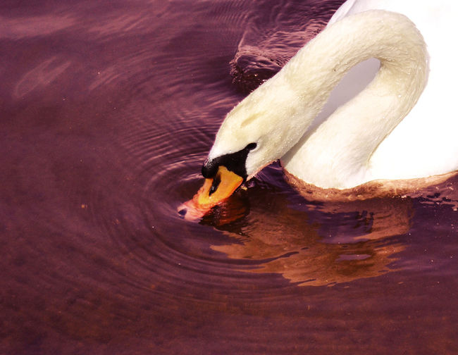 High Angle View Of Swan Drinking Water