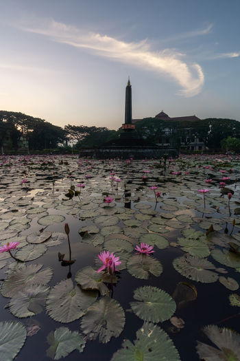 Pink water lily in lake against sky