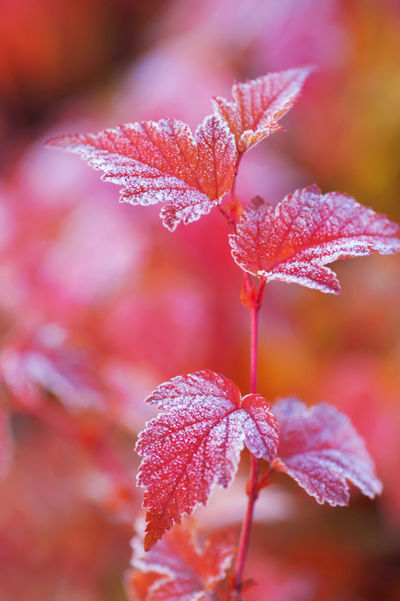 Vertical light red standing alone branch with frosted leaves of Physocarpus opulifolius diabolo (nine bark) in autumn garden. Selective focus Autumn Autumn Colors Autumn Garden Autumn Leaves Fall Colors Frost Red Leaves Deciduous Diabolo Fall Leaves Garden Gardening Leaves Ornamental Plant Physocarpus Red Leaves Shrub