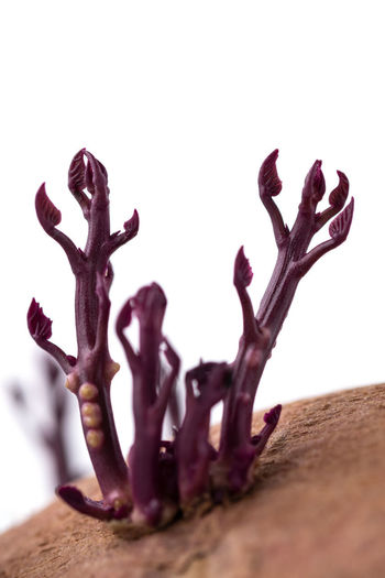 Close-up of dead plant on table against white background