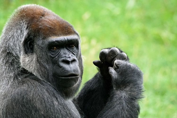 Primate Mammal Gorilla Ape Animals In The Wild Animal Themes Animal Wildlife Monkey Chimpanzee One Animal Black Color No People Focus On Foreground Nature Close-up Outdoors Portrait Day Pet Portraits Animals