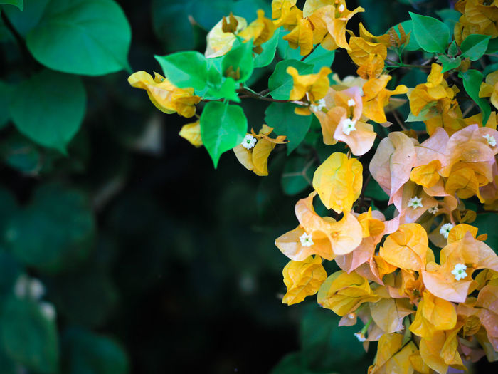 Plant Growth Leaf Beauty In Nature Plant Part Vulnerability  Flowering Plant Flower Fragility Close-up Petal Freshness Yellow Day Nature Inflorescence Flower Head Focus On Foreground No People Green Color Outdoors Lantana Natural Condition Yellow Flower