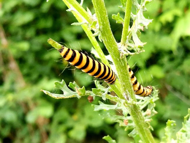 Striped Animal Wildlife One Animal Insect Animals In The Wild Nature Close-up Green Color Animal Themes No People Day Plant Outdoors Beauty In Nature Summer Caterpillar The Great Outdoors - 2017 EyeEm Awards