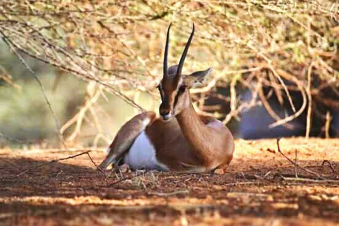 Nature Life Savane Beauty Sauvage Africa Natural Animals Beautiful ♥ Gazelle Bad Quality