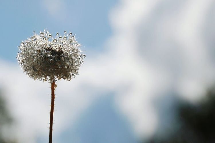 Sun Lights After Rain Drops Countryside Dandelion Macro Drop Plant Sky Nature Tree Beauty In Nature Freshness Cloud - Sky Close-up Growth Day Blue Flower Outdoors Single Object Social Issues Environment Flowering Plant Coniferous Tree Vulnerability  Focus On Foreground Dandelion Seed Flower Head