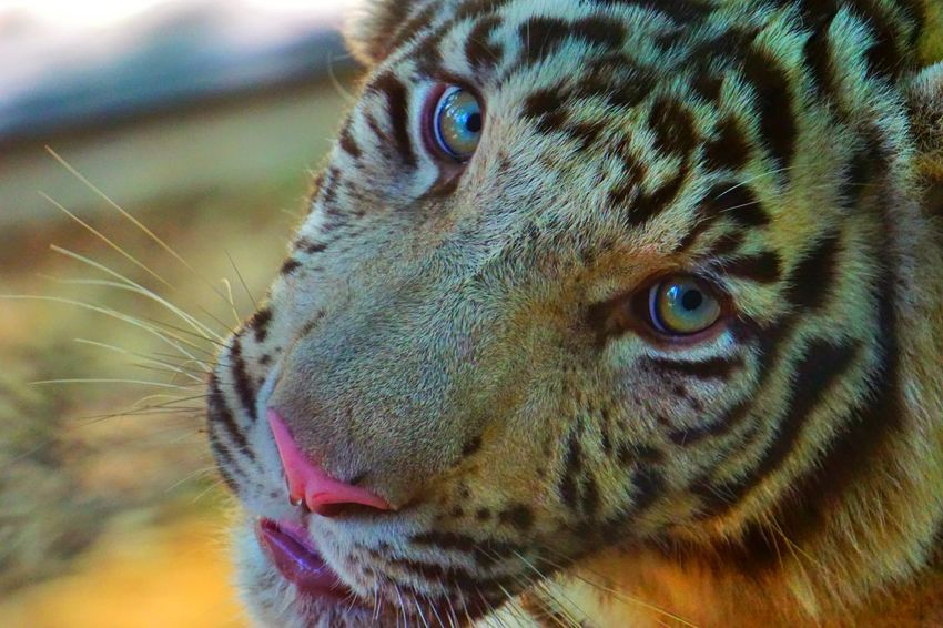 White Tiger Whitetiger Tiger Zoo Animals  Colors Portrait Majestic Photooftheday Photography Circusimages