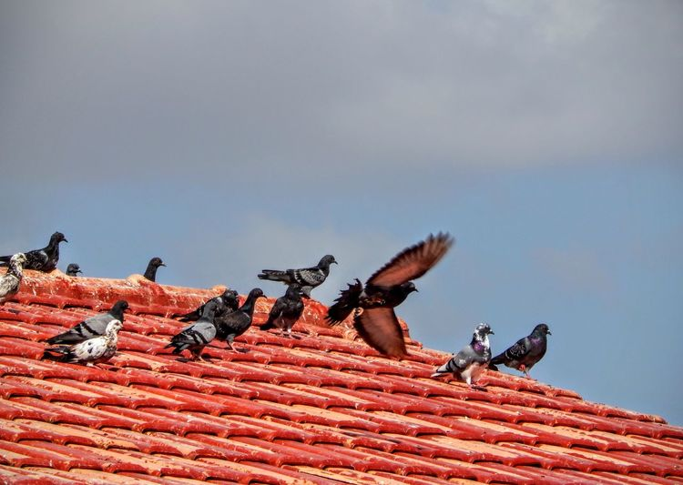 Low Angle View Of Pigeons On House Roof