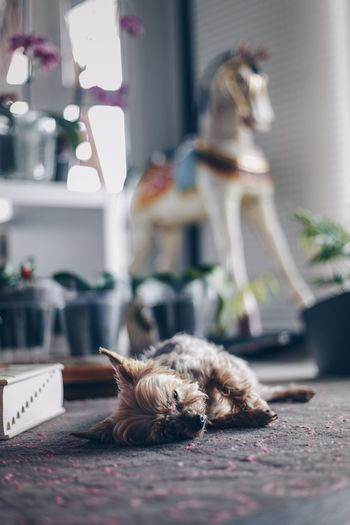 View of a dog lying down at home