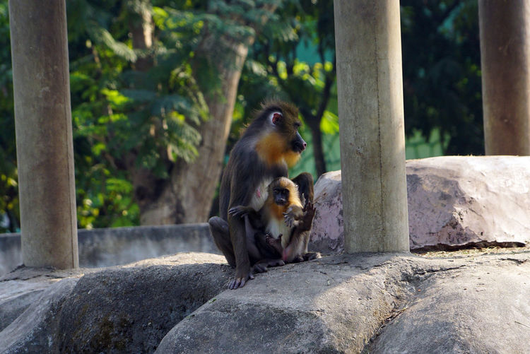 Solid Mammal Animal Animal Themes Rock - Object Rock Vertebrate Animal Wildlife Animals In The Wild Tree Nature Primate Day Monkey No People Sitting Focus On Foreground Outdoors Mandrill Monkey Mandrill Mandrillus Sphinx Mandrill Monkey Mother With His Baby
