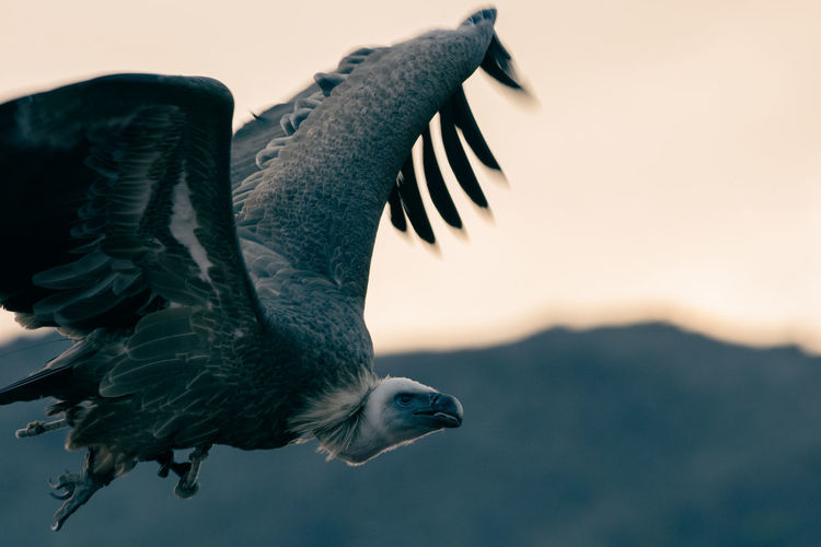 Close-up of eagle flying in sky