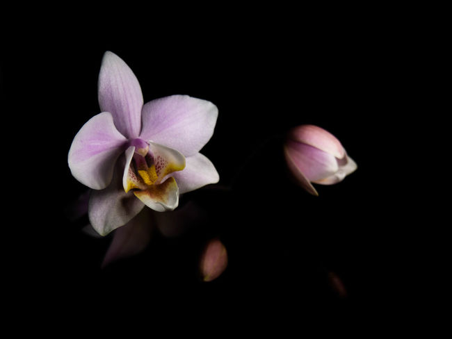 Flower Flowering Plant Fragility Freshness Petal Beauty In Nature Vulnerability  Plant Inflorescence Flower Head Studio Shot Black Background Close-up Nature Growth No People Pollen Copy Space Indoors