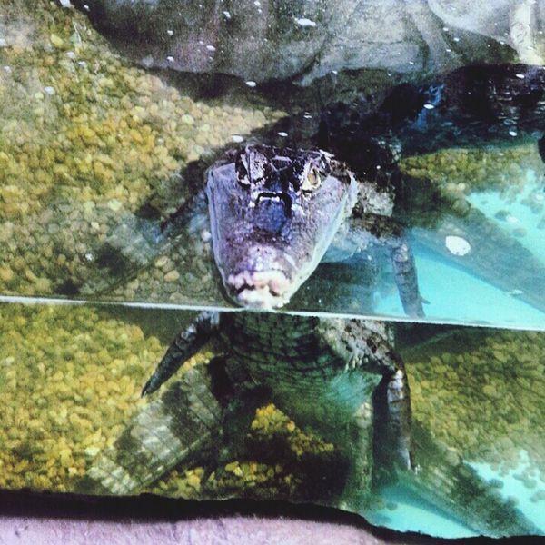 океанариум крокодил Взгляд