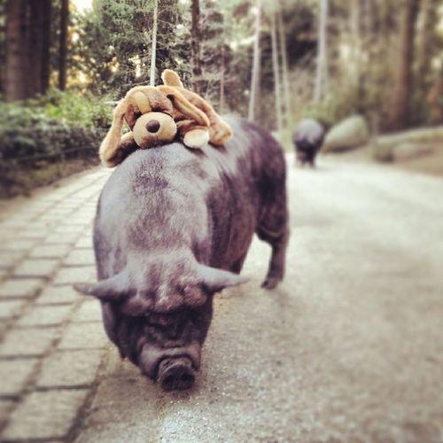 Porkin' around. Puppy Pig Swine Potbelly woods forrest nature beagle dog dogsofinstagram ilovemypuppy niedersachsen piggy picoftheday love friends lol omg pork animals cute instamood park wildpark zoo schwarzeberge