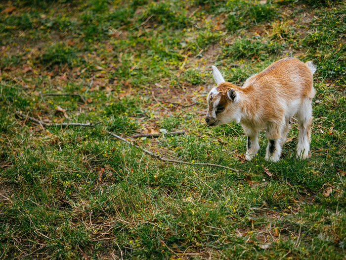 Animal Themes Close-up Day Field Fluffy Grass Kid Goat Livestock Mammal No People One Animal Outdoors Reindeer Scandinavia Sweden Zoo