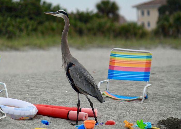 Blue Heron keeping watch over beach gear on Turtle Beach, Florida. Blue Heron Green Morning Light Orange Red Beach Beach Chairs Beach Gear Beach Toys Big Bird Blue Colorful Day Floaties Florida Keys Gray Heron Inner Tube Nature No People Outdoors Sand Shovels Sand Toys Shovel Sunrise Turtle Beach
