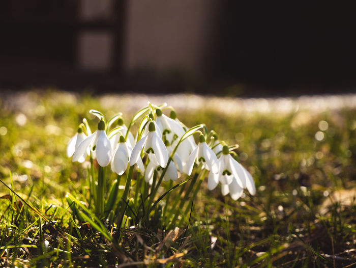 Nature. Plant Freshness Growth Flower Fragility Petal Close-up Vulnerability  Flowering Plant Snowdrop Beauty In Nature White Color Nature Selective Focus Grass Day Inflorescence No People Field Flower Head Outdoors Small First Eyeem Photo EyeEm 17.62°