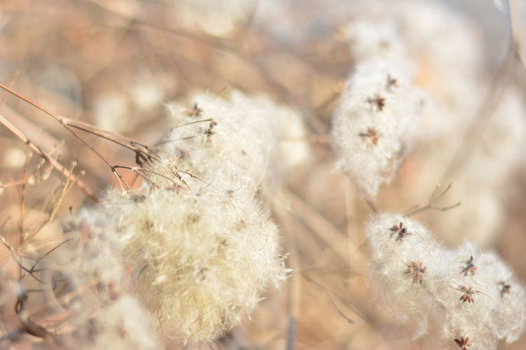 Close-up Dried Plant Flowers Nature No People Outdoors Plant Seeds White Pale Nature Seeds On Leaf Beige Tones Dreamlike DreamScapes Looks Like A Cloud Fluffy Shapes And Forms