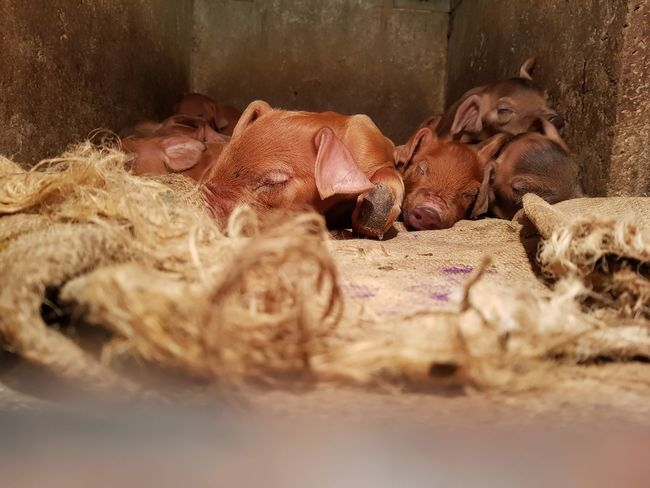 EyeEm Selects so cute baby Animal Wildlife Animal Animal Themes Animals In The Wild No People Cage Mammal Hippopotamus Day Reptile Nature Safari Animals Indoors  Close-up Pig Farm Young Animal Agriculture Swine Lying Down Domestic Animals Backgrounds Piglets Eyes Closed