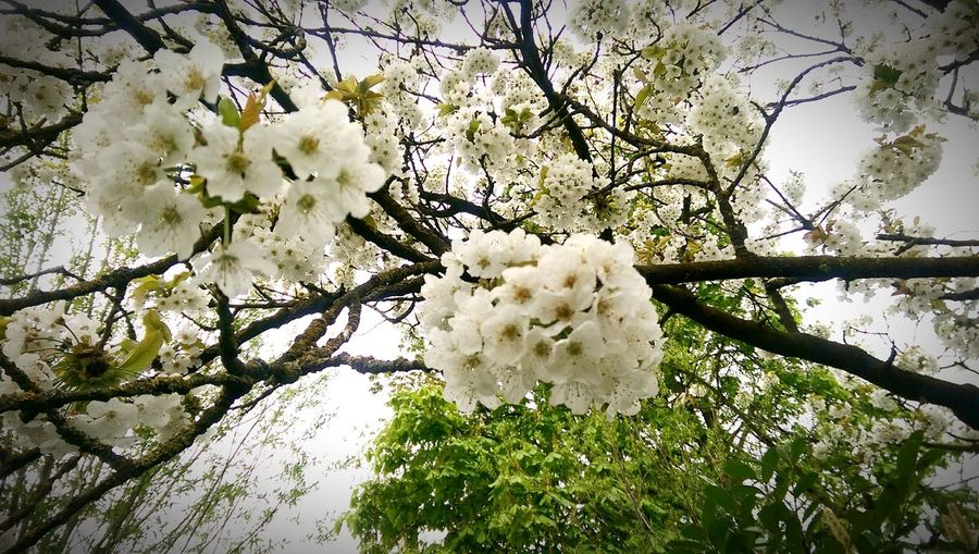 Cherry Blossoms Blossom Cherry Tree Gemert