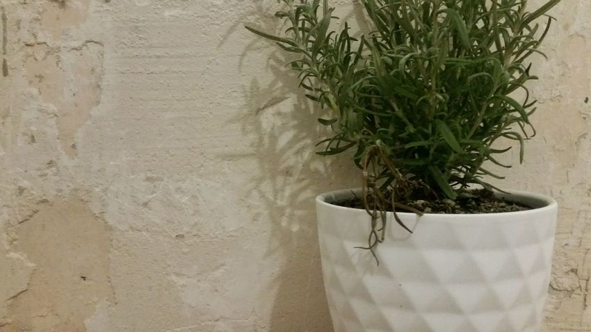 Distressed Plant Growth No People Indoors  Close-up Nature Plaster Decay Rosemary Herb Green Color Growth Contrast