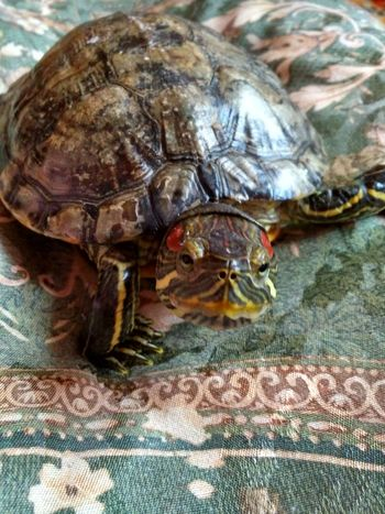 Animal Themes Animals In The Wild One Animal Animal Wildlife Animal Shell Tortoise Tortoise Shell Wildlife No People Day Nature Reptile Domestic Animals черепаха черепашкининдзя🐢😜 Pets Nature