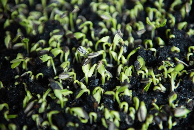 Close-Up Of Seedlings Growing On Field