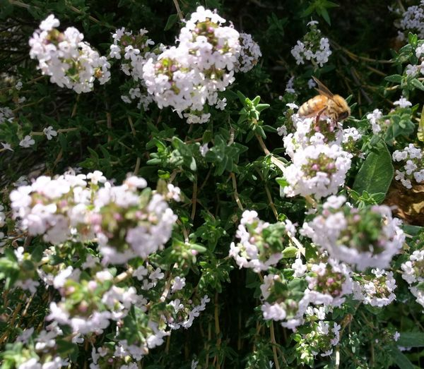 Bee on my thyme plant. Fesh On EyeEm The Week On Eyem Maximum Closeness Onerahi Whangarei New Zealand Ladyphotographerofthemonth