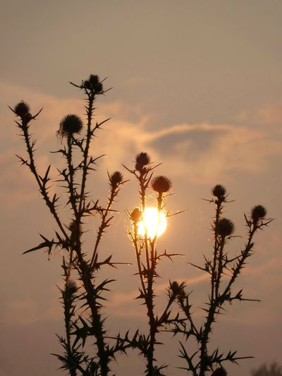 """Bright series... """"In the thistles"""" Check This Out Sunrise_Collection Sunrise Silhouette Eyemmasterclass Showcase: January Colorful EyeEm Best Shots EyeEm Nature Lover EyeEm Best Shots - Nature St Clair Metro Park Original Unedited.  Rr"""