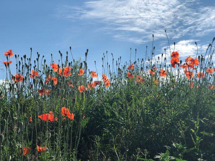 Close-up of orange poppy flowers on field against sky
