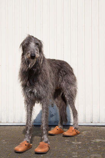 Scottish deerhound wearing orange shoes and standing against white wall