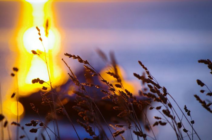 Sunrise Silhouette Golden Light Waterfront Nature Grasses And Sun EyeEm Selects Summer Memories 🌄 Dorset Nature Outdoors Close-up Day Sky