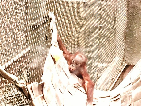 Baby Orangutang Chester Zoo Day Out