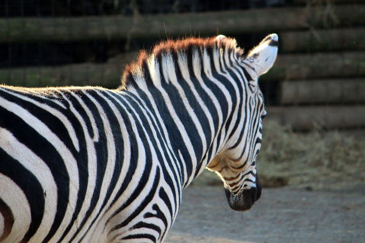 Animal Animal Themes Striped Mammal Zebra Animal Wildlife Animals In The Wild One Animal No People Vertebrate Side View Domestic Animals Day Focus On Foreground Animal Markings Herbivorous Safari Close-up Outdoors White Color Animal Head  Profile View Mouth Open