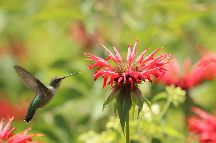 Humming Bird and Bee-balm Beak Animal Themes Animals In The Wild Beauty In Nature Bee-balm Bird Blooming Close-up Day Flower Flying Focus On Foreground Fragility Freshness Green Hummingbird Growth Hummingbird Nature No People One Animal Outdoors Plant Pollination Spread Wings Wings