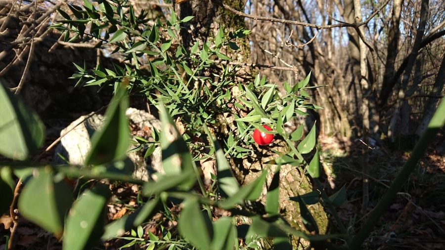 Leaf Nature Growth Rescus Aculeatus Food
