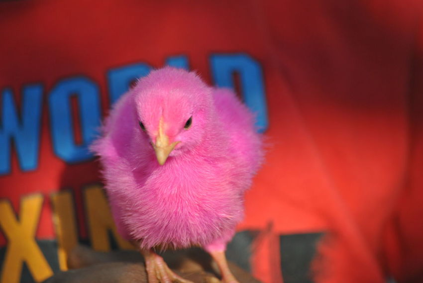 Pink Colored Chick Colored Chicks Domestic Animals One Animal Bird Animal Themes