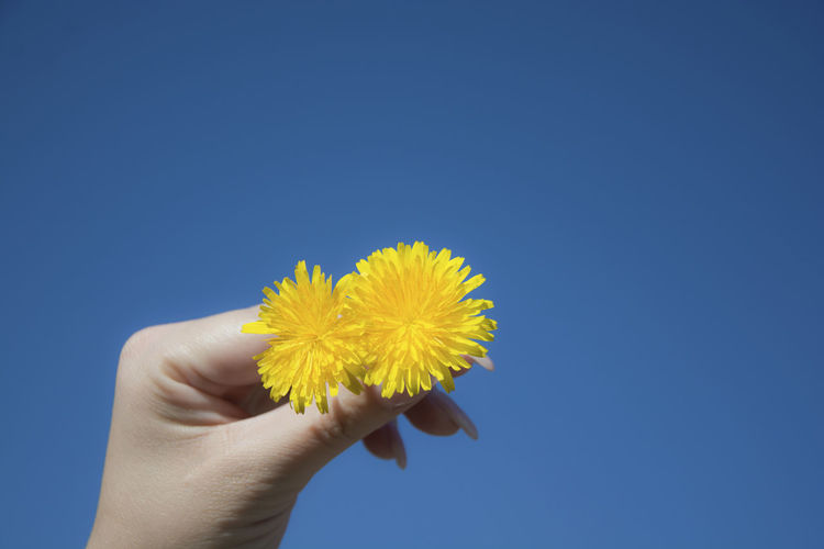 Close up woman hand holding a blooming beautiful yellow dandelion with clearly blue sky background Human Hand Hand Human Body Part Holding Yellow One Person Flower Blue Fragility Vulnerability  Body Part Flowering Plant Nature Plant Finger Pollen Outdoors Blue Background Flower Head Woman Dandelion Blooming Sky Beauty In Nature Nail