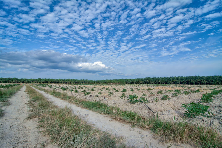 tapioca farm Landscape Sky Environment Cloud - Sky Field Land Plant Tranquil Scene Tranquility Beauty In Nature Scenics - Nature Nature Agriculture Rural Scene Grass Day No People Growth Road The Way Forward Outdoors Trail Pathway Grass Tapioca