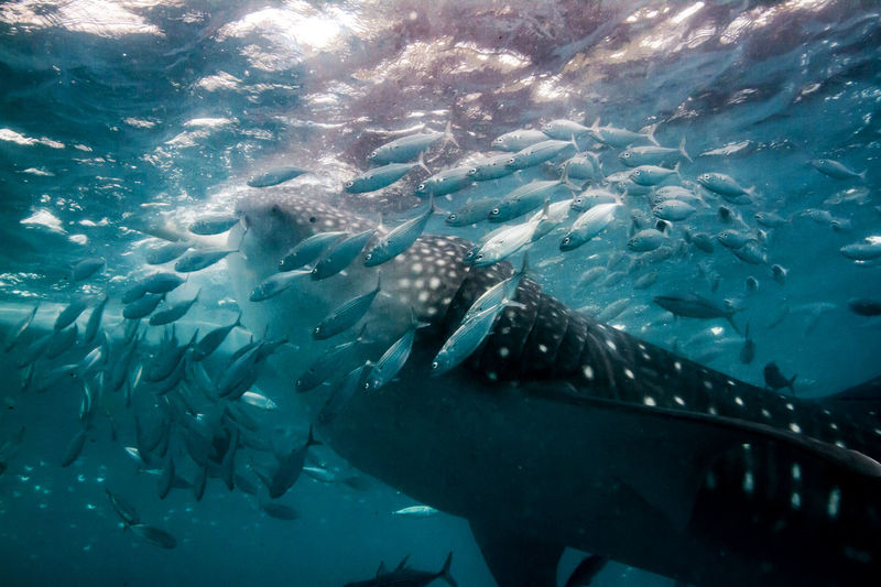 Whaleshark eating. ASIA Diver Diving Divingphotography Ocean Philippines Sabang Scuba Diver Scuba Diving Scubadiving Scubalife Sea Shark Travel Destinations Travel Photography Travelling Underwater Underwaterphotography Whaleshark Whaleshark Eating Whalesharks Whalesharkwatching Wanderlust