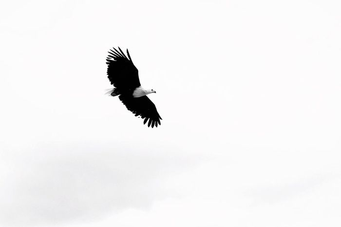 Soaring through the sky. Bird Clear Sky One Animal Flying Low Angle View Animals In The Wild No People Animal Themes Animal Wildlife Spread Wings Outdoors Bird Of Prey Day Photography Lighting Eyemphotography EyeEm Nature Lover EyeEmNewHere