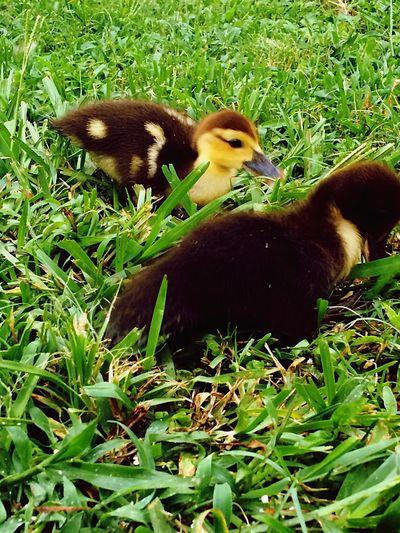 Ducklings Feeding Time Ducks😄 Family Of Ducks Backyard Photography Backyard Friends Backyardadventure Summer Summer Vacation Florida Nature Florida Wildlife Wildlife Birds Wildlife And Nature