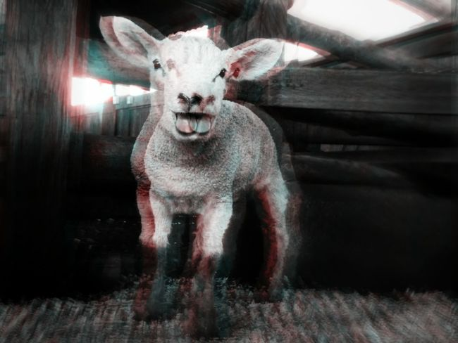 Animal Themes One Animal Domestic Animals Looking At Camera Mammal Psichodelic Animal Psicodelico No People Animal Nose Outdoors First Eyeem Photo Sheep Livestock Herbivorous Animal Pen Zoology Portrait Cabanhasãodaniel