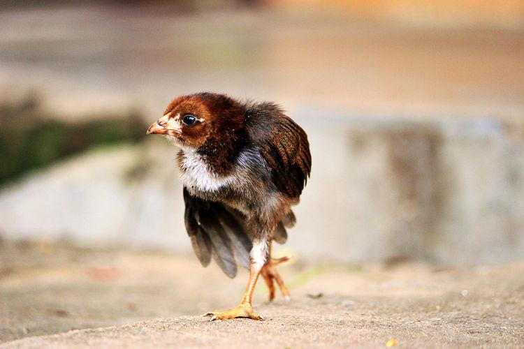 Cuteness !! Pet Chick Pet Portraits
